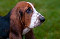 Basset van het hondras de hond is op het groene gras Royalty-vrije Stock Afbeelding
