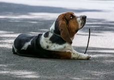Basset with wood Stock Images