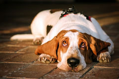 Bassethound. Looks birds in sunshine Royalty Free Stock Image