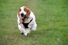 Bassethound. Running free in green park Royalty Free Stock Image