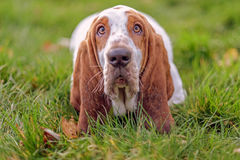 Bassethound. Sad in green park Royalty Free Stock Photography