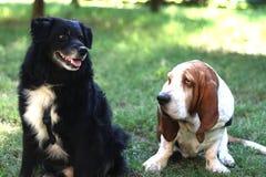 Bassethund och vän Arkivfoto