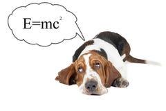 Bassethunden tänker om teorin av relativitet royaltyfri fotografi
