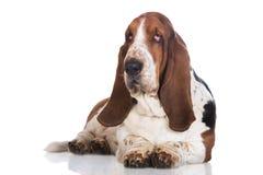 Bassethundhund på vit Arkivfoton