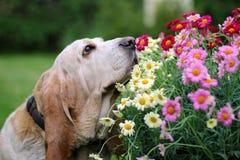 Bassethundhund som luktar blommor Royaltyfri Foto