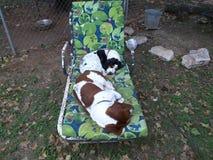 Bassets adormecidos Fotografia de Stock Royalty Free