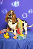 Bassett and Bathtub. A Bassett Hound stands beside with rubber ducks, sponge, and towel against a bubble backdrop stock images