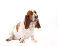 Bassett Hound. Basset Hound, Hush Puppy, Hush Puppies, Big Ears stock photography