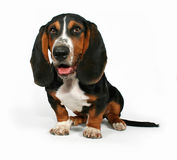 Bassett hound. A basset hound sitting down on a white background royalty free stock photo