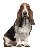 Bassett Hound, 6 years old, sitting. In front of white background royalty free stock images
