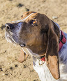 Bassett hound. Basset hound sitting in the winter grass royalty free stock photo