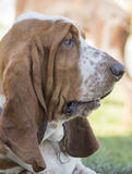 Bassett Hound Laying In A Grassy Field. Brown and White freckled Brown and white, droopy eyed,  freckled  Basset Hound laying in a grassy area and posing for the Royalty Free Stock Image