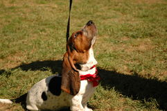 Bassett hound puppy. A cute Bassett hound puppy wearing a red bandana looking straight up stock photography