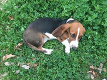 Bassett Hound Relaxing. Dog Tri royalty free stock photography