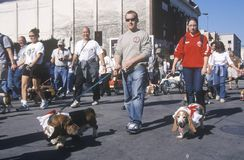Bassett hounds marching at the Doo Dah Parade, Pasadena, California Royalty Free Stock Photo