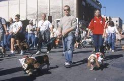 Bassett hounds marching at the Doo Dah Parade, Pasadena, California royalty free stock photo