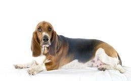 bassetthund Arkivfoto