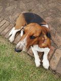 Bassetthund arkivbild