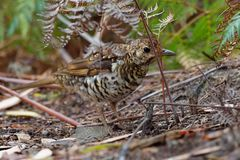 Bassian Thrush - Zoothera lunulata known as the olive-tailed thrush, insectivorous thrush found in southeastern Australia and Tasm stock photography