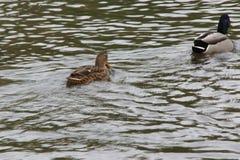 """Bassin de la Muette - †""""Francia di Elancourt - anatre che nuotano in un lago - vista posteriore Immagini Stock Libere da Diritti"""