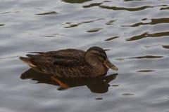 Bassin de la Muette - Elancourt -法国-一只仅鸭子在水中 视域viex 免版税库存图片