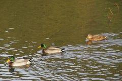 """Bassin de la Muette - o †""""França de Elancourt - os patos que nadam em um lago perto de uma floresta a natureza são bonitos Foto de Stock Royalty Free"""