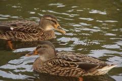 """Bassin de la Muette - o †""""França de Elancourt - os patos que nadam em um lago perto de uma floresta a natureza são bonitos Imagem de Stock"""