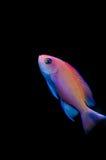 Basslet cor-de-rosa fêmea fotografia de stock royalty free