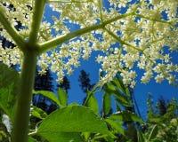 Basso angolo bianco della fioritura della bacca di sambuco Fotografia Stock Libera da Diritti