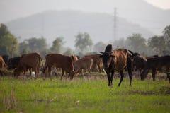 Basso del fuoco al capo della mucca in un campo Fotografie Stock