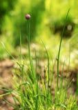 ` Basso di profondità di campo soltanto da essere ` del fiore a fuoco di giovane allium schoenoprasum della erba cipollina Foto c Immagini Stock Libere da Diritti