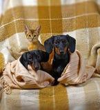 bassotti tedeschi e gatto abissino Immagini Stock Libere da Diritti