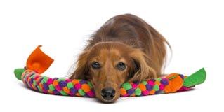 Bassotto tedesco, 4 anni, trovantesi sul giocattolo del cane Immagine Stock Libera da Diritti