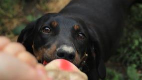 Bassotto tedesco allegro del cane Immagini Stock Libere da Diritti