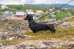 Bassotto tedesco che sta sulla roccia sulla città del fondo di Alta, Norvegia Immagini Stock