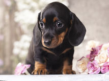 Bassotto tedesco del cucciolo Immagine Stock