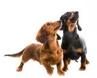 Bassotto tedesco della razza dei cani Immagine Stock Libera da Diritti