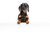 Bassotto tedesco della razza del cane Immagine Stock