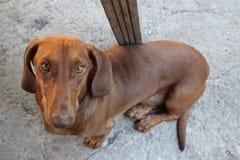 Bassotto tedesco della razza del cane Immagini Stock