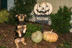 Bassotto tedesco di Halloween Fotografie Stock