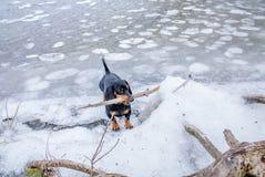 Bassotto tedesco Dominik del cane immagini stock libere da diritti