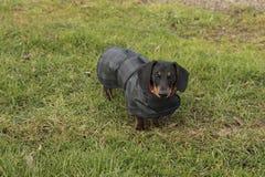 Bassotto tedesco miniatura in cappotto incerato che affronta macchina fotografica Immagini Stock