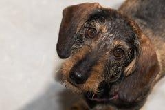 bassotto tedesco miniatura Cavo-dai capelli che cerca macchina fotografica Fotografia Stock