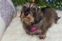 bassotto tedesco miniatura Cavo-dai capelli che cerca macchina fotografica Fotografie Stock