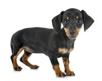 Bassotto tedesco miniatura del cucciolo immagine stock libera da diritti