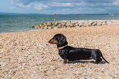 Bassotto tedesco miniatura sulla spiaggia Immagine Stock Libera da Diritti