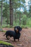 Bassotto tedesco miniatura in terreno boscoso Immagine Stock