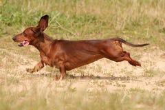 Bassotto tedesco rosso che corre nell'erba fotografia stock libera da diritti