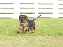 Bassotto tedesco (Wirehaired) Fotografia Stock