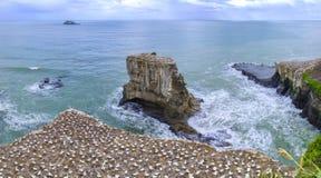 Basstölpel, die auf einem Strand nisten stockbilder